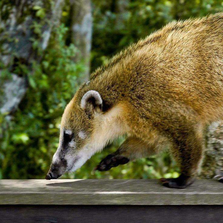 Носуха, как домашнее животное: как это выглядит, можно ли
