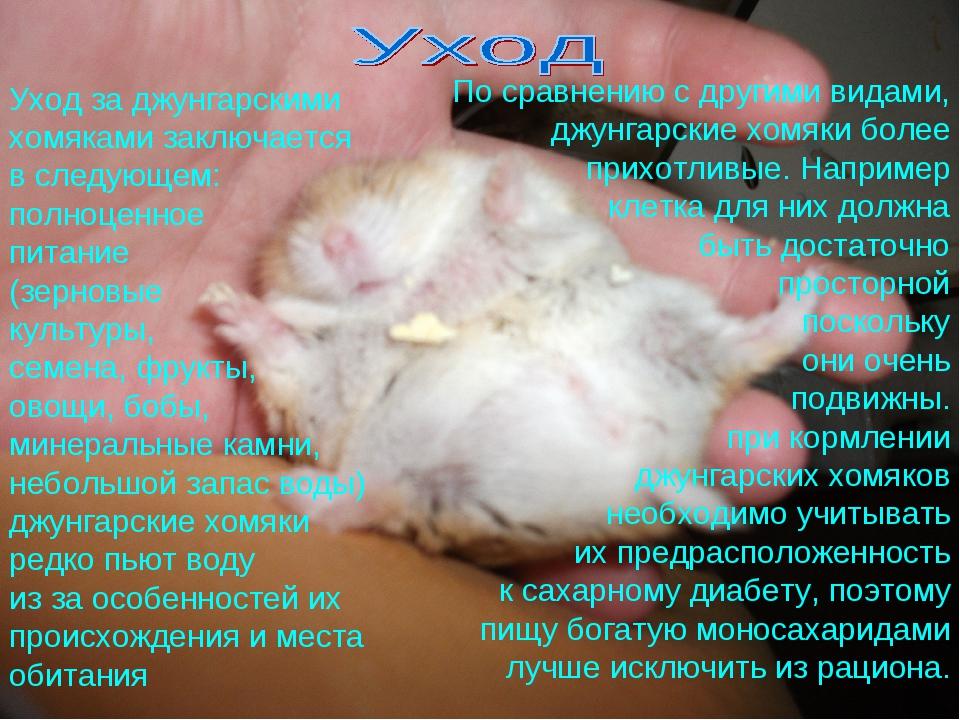 Джунгарский хомяк: уход и содержание, питание, фото - pusiki