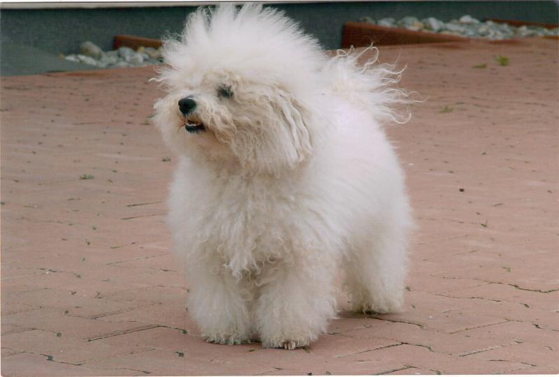 Порода собак болоньез и их фото