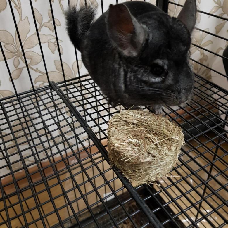Стоит ли заводить шиншиллу - плюсы и минусы домашнего животного в квартире