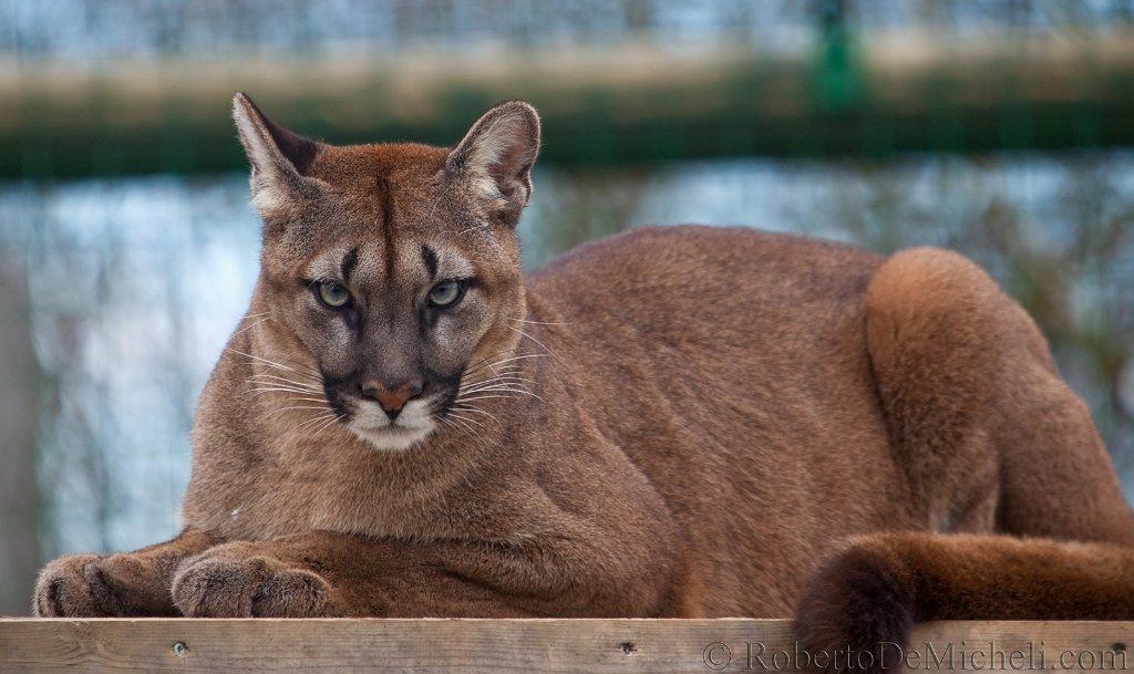 Пума кошка характеристика породы