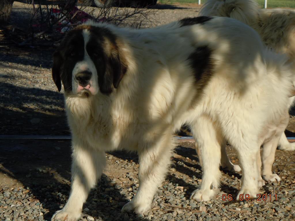 Пиренейская горная собака - фото, цена, описание, видео