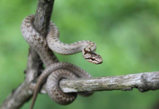 Змеи приморья щитомордник. дальневосточный или амурский полоз