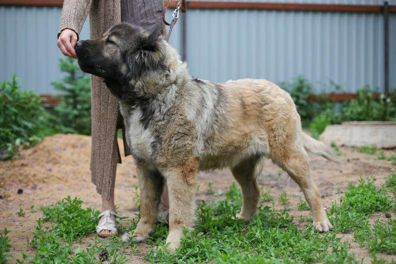 Кавказская овчарка: характеристика породы и рассказ о том, как выглядит взрослая собака, а также вы узнаете цену щенка в россии и за рубежом