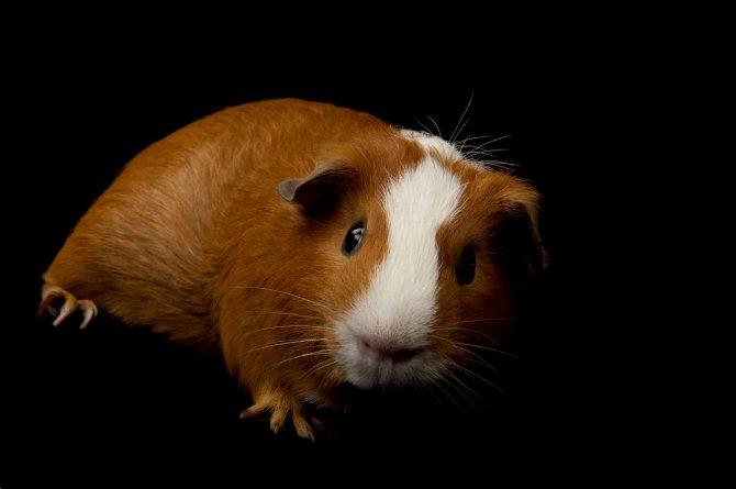 Определение состояния здоровья. морские свинки