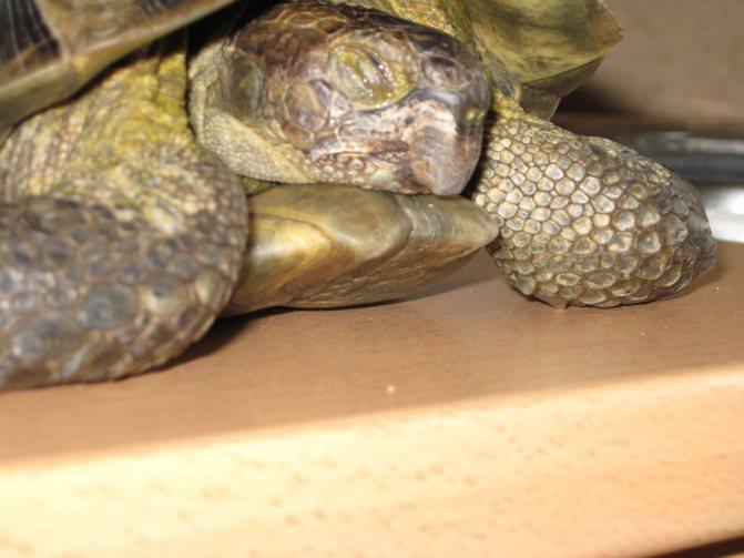 Красноухая черепаха. описание, особенности, уход и цена красноухой черепахи