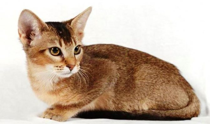 Чаузи кошка характеристика породы, фото, характер, правила ухода и содержания - petstory