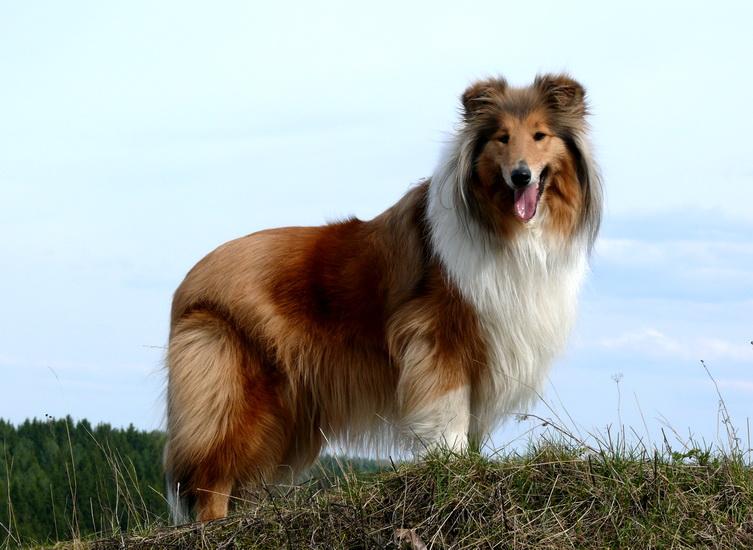 Колли – история и описание удивительной породы собак