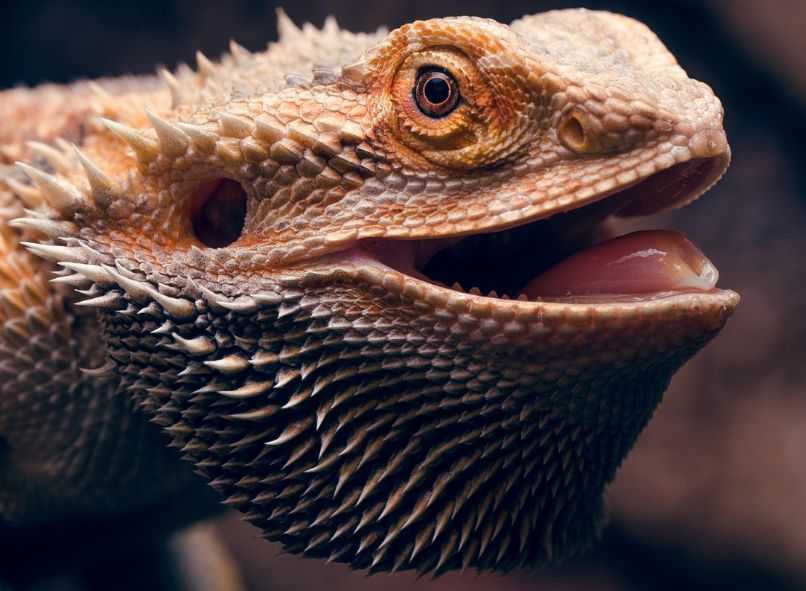 ᐉ бородатая агама - особенности содержания, ухода и размножения в домашних условиях + фото - zoovet24.ru