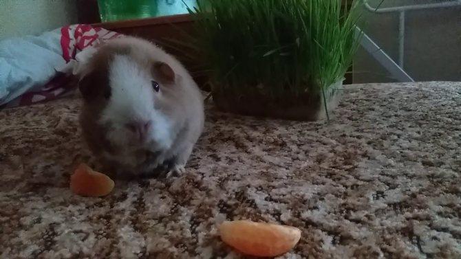 Можно кормить морскую свинку мандарином