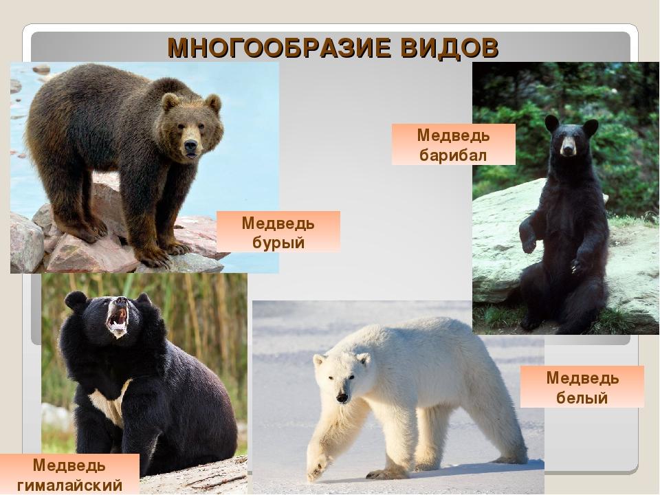 Виды медведей. описание, названия и особенности медведей