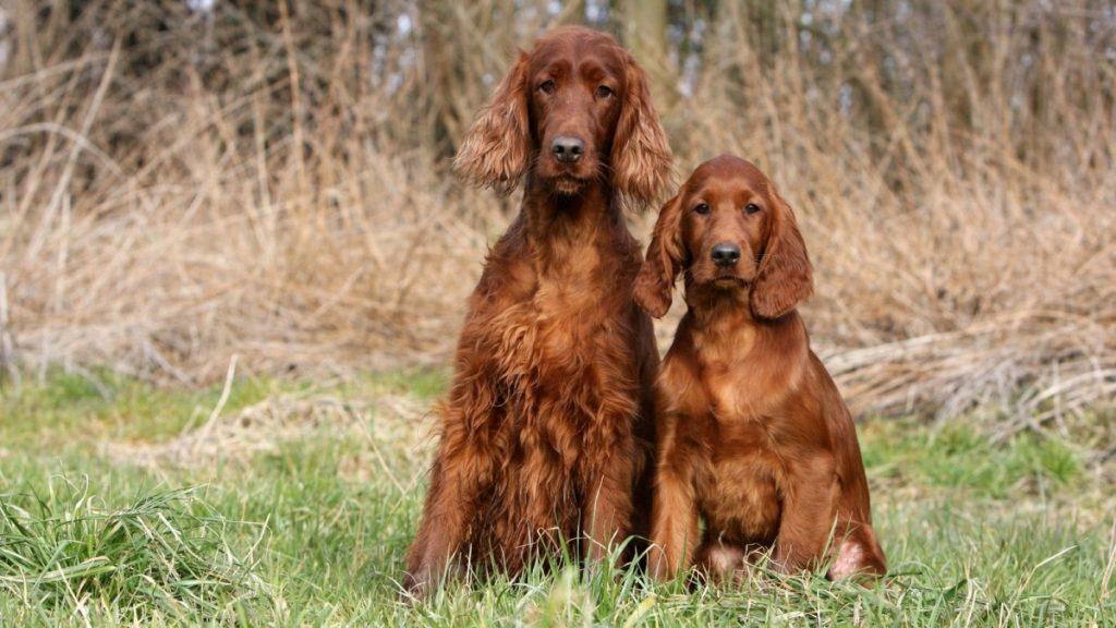 Ирландский сеттер ???? фото, описание, характер, факты, плюсы, минусы собаки ✔