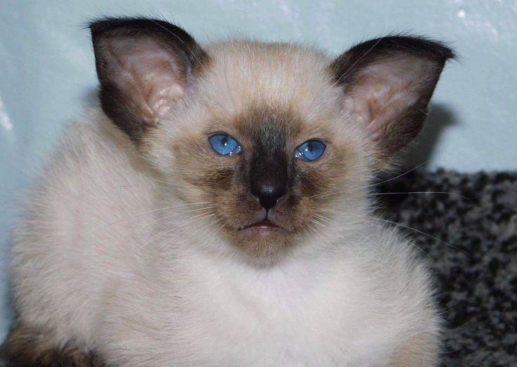 Балинезийская кошка: фото, описание породы, характер, здоровье, уход и содержание