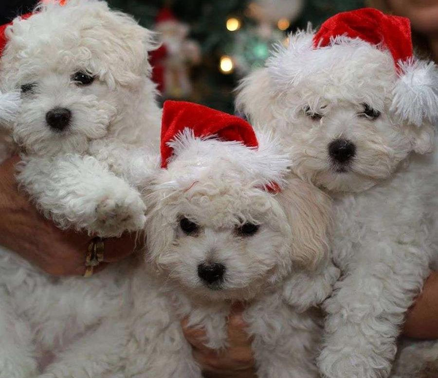 Порода собак болоньез – покладистая, милая и резвая