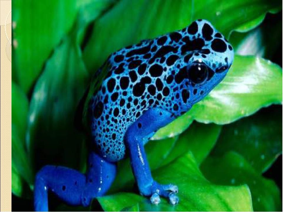 Древолаз пятнистый и голубой — ядовитые лягушки в доме