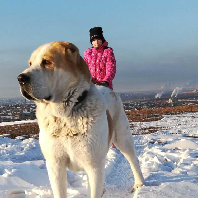 Среднеазиатская овчарка (алабай): фото и описание, основное назначение, характер собаки, стандарты, цена щенка
