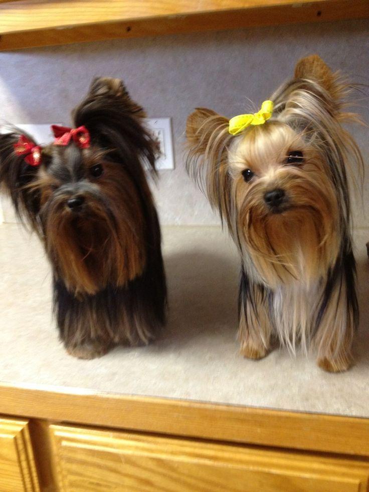 Йоркширский терьер мини: фото взрослой собаки и отличия