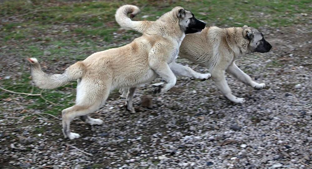 Гампр: как выглядят собаки и как их содержать?