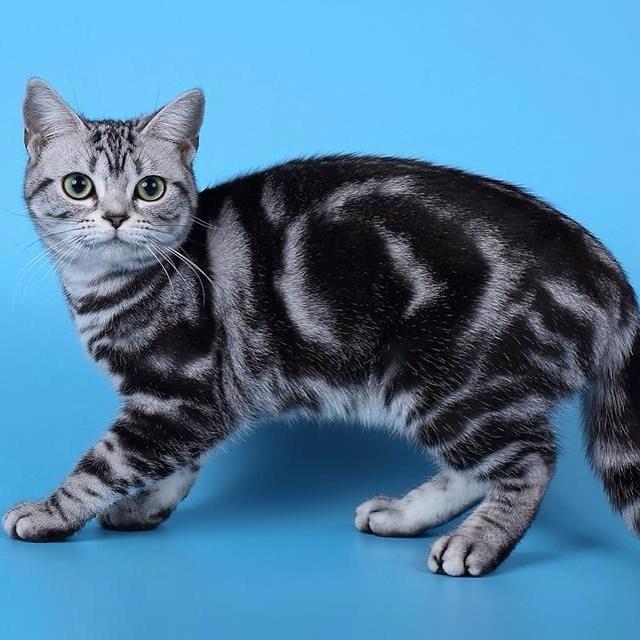 Американская короткошерстная: темперамент кошки, особенности ухода за здоровьем и шерстью, 40 фото, интересные факты