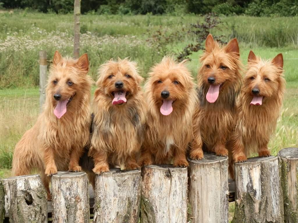 Австралийский терьер: фото породы собак, стандарт, характер и история породы