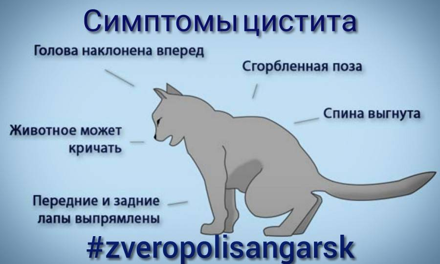 Облысение у кошки: причины и лечение   нвп «астрафарм»