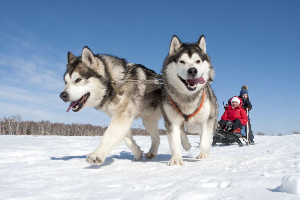 Ездовая собака: виды и описание