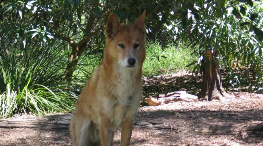 Собака динго из австралии - наши лапки