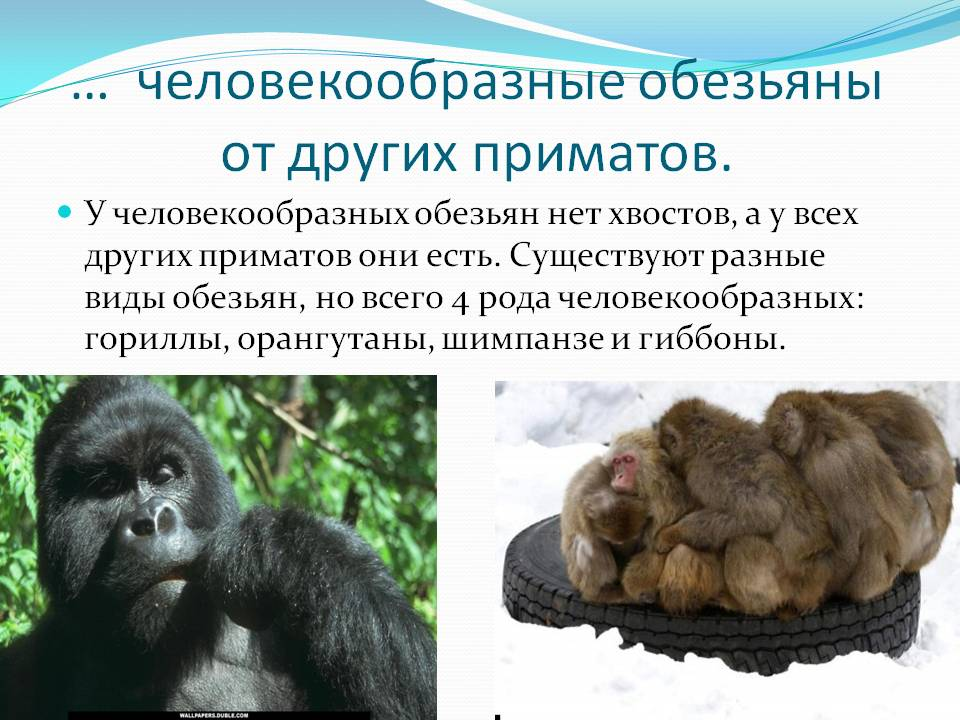 Отряд приматы: образ жизни, эволюция и классификация