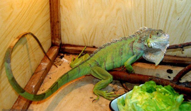 Чем кормить и как ухаживать за игуаной дома