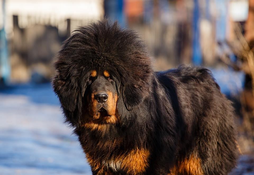 """Топ 5 дорогих собак в мире   блог ветклиники """"беланта"""""""