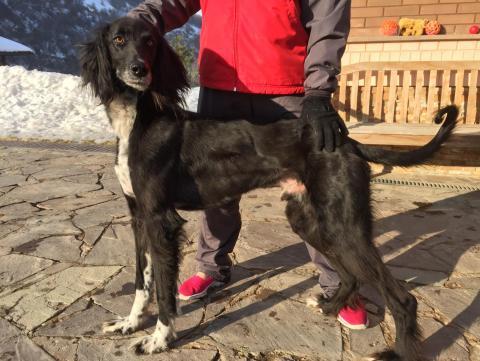 Тайган: собака родом из киргизии, уход и содержание