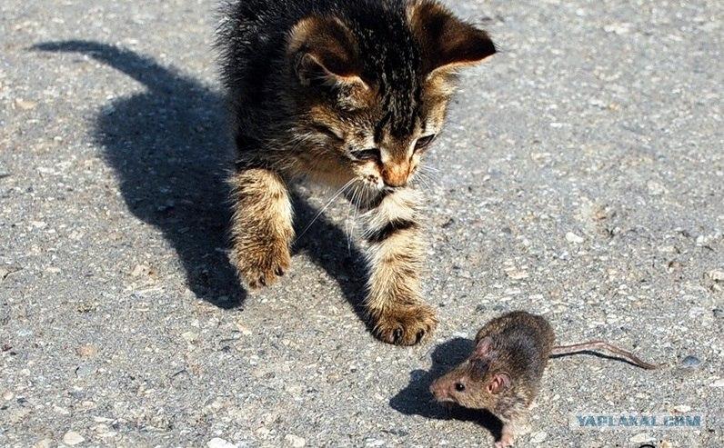 Породы кошек-крысоловов с фото и описанием, особенности содержания охотников на мышей и крыс