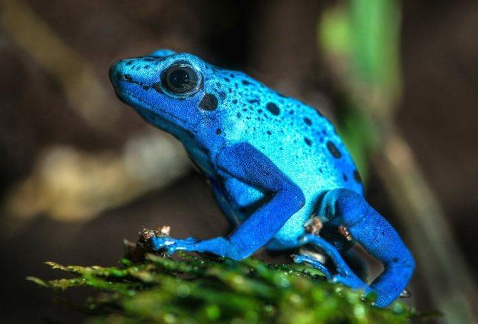 Голубой древолаз   мир животных и растений