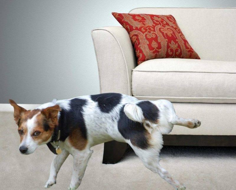 Как защитить мебель от собак