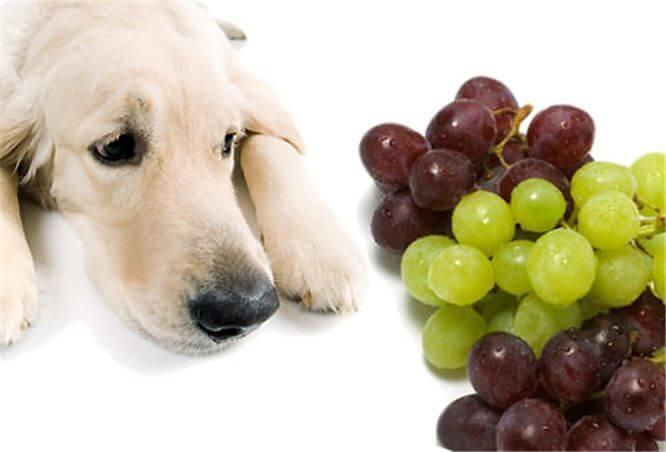 Почему взрослых собак, щенков нельзя кормить виноградом: в чем опасность