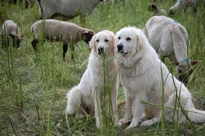 Характеристика собак породы венгерский кувас с отзывами и фото