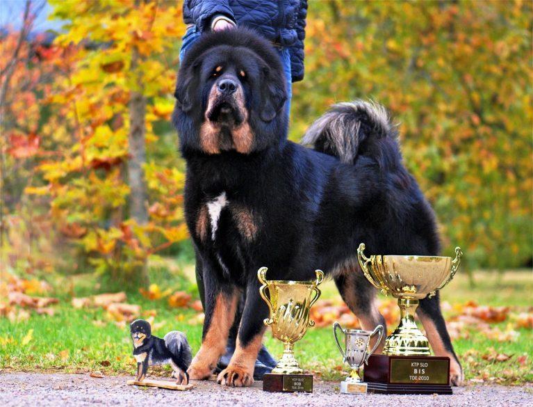 10 самых дорогих пород собак в мире — фото, цены