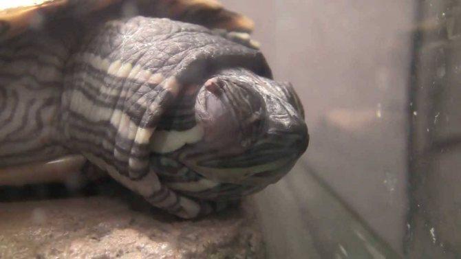 Ложатся ли красноухие черепахи в спячку. зимняя спячка красноухих черепашек. спячка черепахи в зимнее время