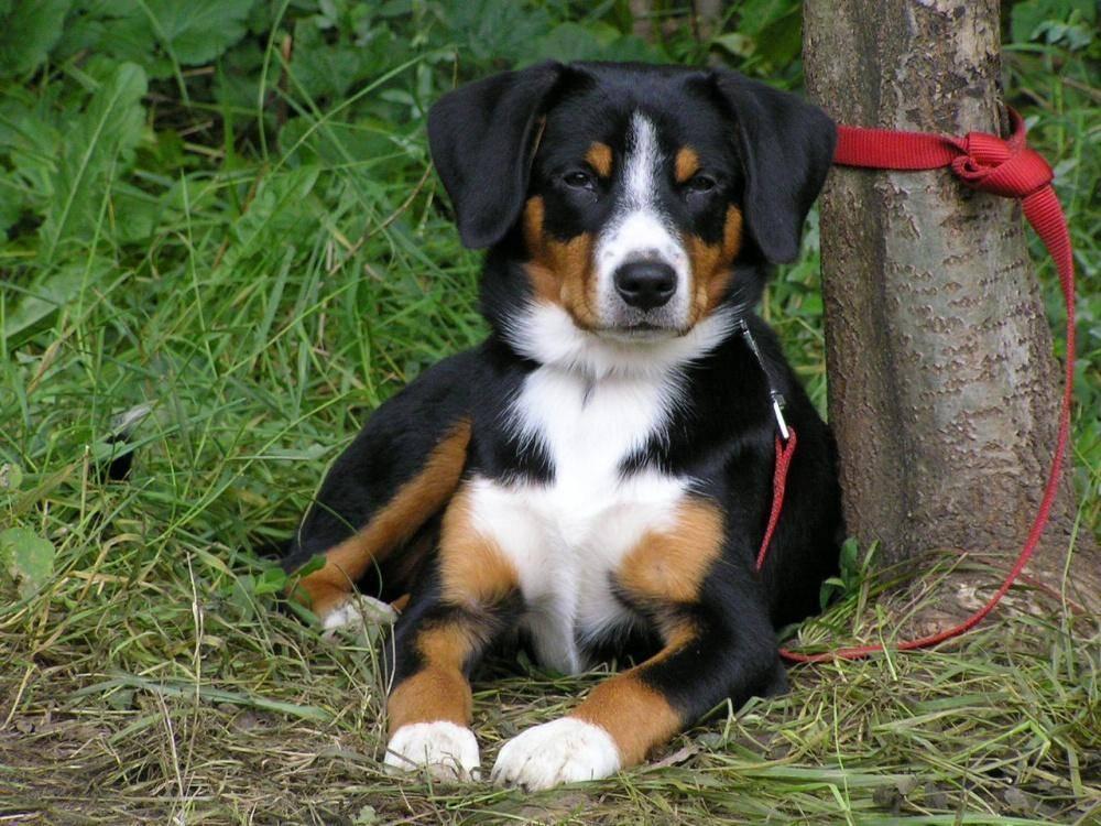 Энтлебухер зенненхунд — собака-пастух, охранник и компаньон