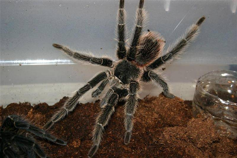 Паук птицеед. описание, особенности и среда обитания паука птицееда