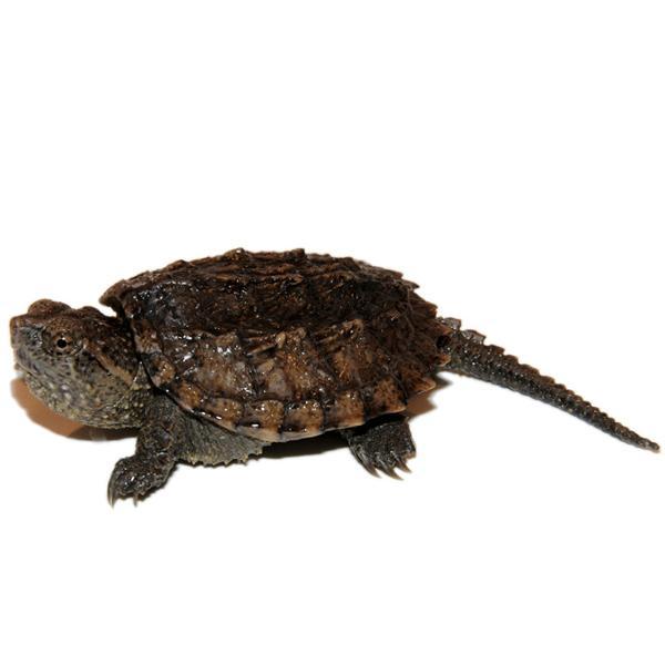 Водная черепаха: как ухаживать, описание, виды, фото, содержание черепах дома, как долго живет