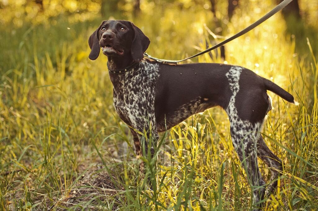 Собака курцхаар: фото, стандарт породы и описание характера, особенности содержания и питания