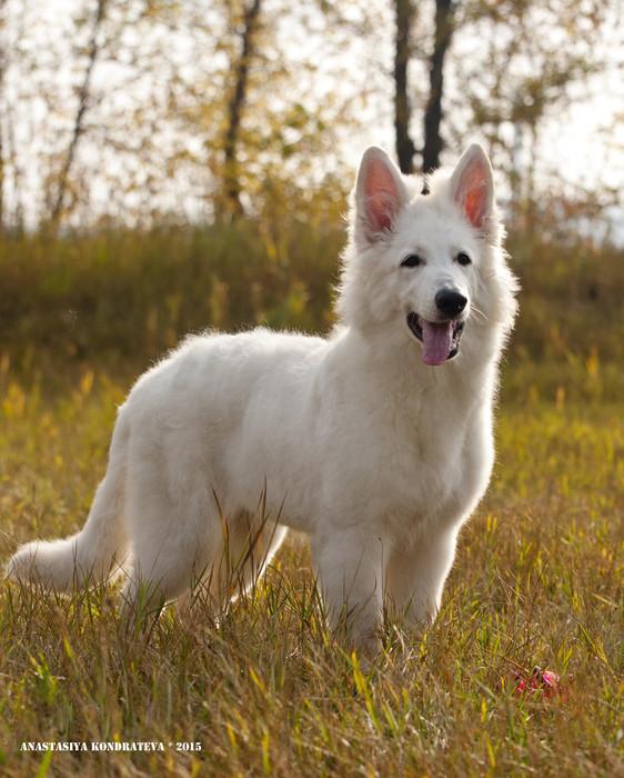 Белая швейцарская овчарка - 120 фото в обзоре породы от а до я!