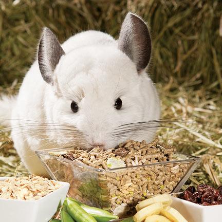 Чем кормить шиншиллу, что ест шиншилла в домашних условиях