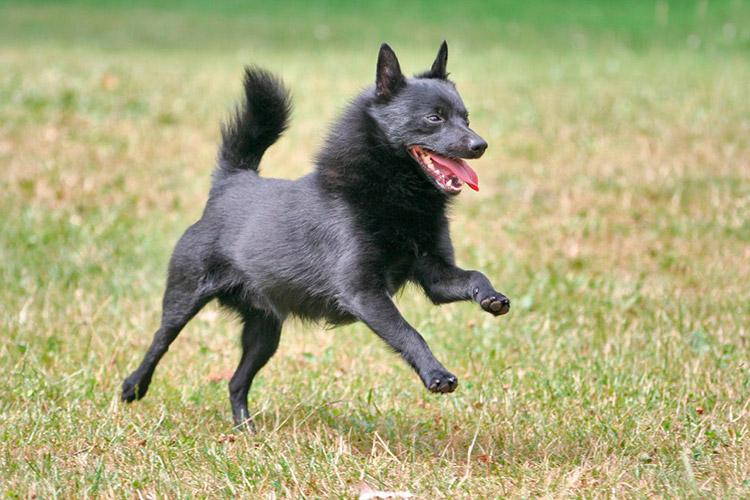 Шипперке — описание породы, фото щенков и взрослых собак, цена и характер породы