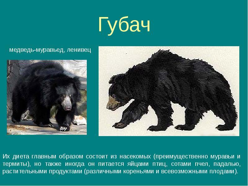 Бурый медведь животное. описание, особенности, образ жизни и среда обитания бурого медведя   живность.ру