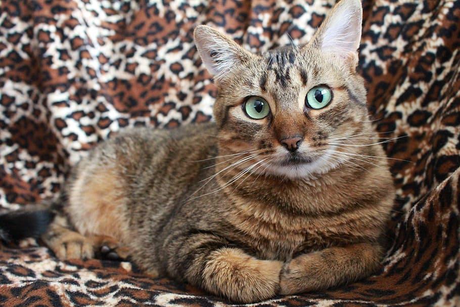 Азиатская кошка: описание и характер породы, ее содержание