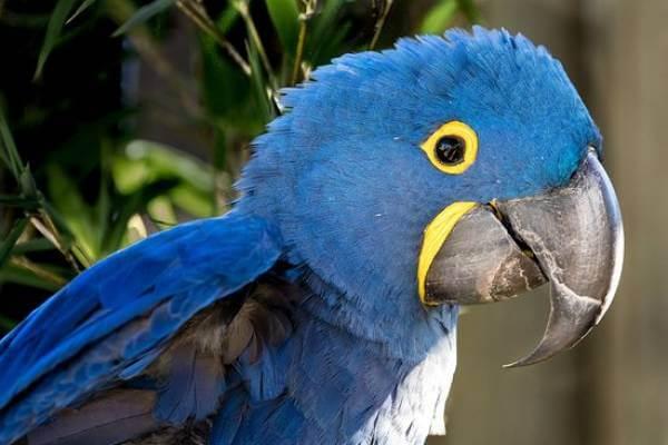 Попугай ара: разновидности, содержание в домашних условиях, сколько стоят   golubevod.net