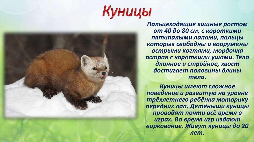 Куница - описание, фото, где обитает, чем питается, враги, видео