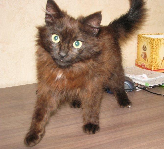 Йоркская шоколадная кошка — описание породы кошек